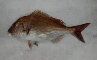 神ノ島で真鯛70センチ