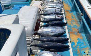 小田原沖にカツオ、キメジ好調に釣れてます。