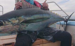 相模湾内にてキハダマグロが釣れてます。