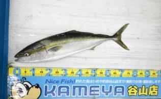 七ツ島 ブリ 釣れています!鹿児島谷山店