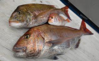 タイラバにて春の大型ノッコミ真鯛のお持ち込み かめや釣具谷山店