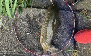 日南小規模河川での釣果