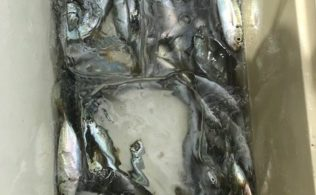 海潟イカダでアジ大漁♪