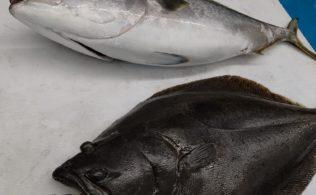 泳がせ釣りにて‼ 近場の谷山港で超大型のブリ・ヒラメのお持ち込みして頂きました‼ 鹿児島谷山店