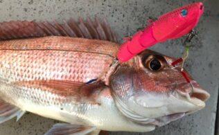鯛ラバ釣果あり!真鯛・ハタ 錦江湾