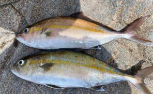 桜島周辺でカンパチ釣れてます!
