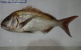 長島での真鯛釣果頂きました!かめや釣具鹿児島城南店