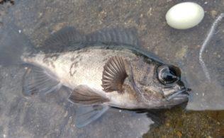 【春告魚】メバル釣れました!