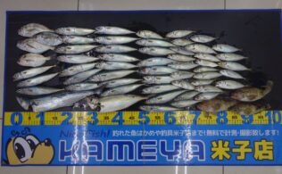 夢みなとでサビキ釣りで大漁!レア魚種も!
