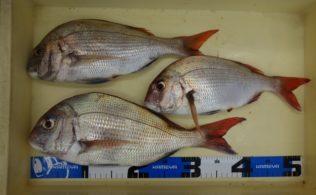 シマノ最新タックル実釣会の真鯛釣果です!