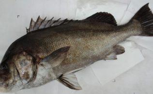 胡椒鯛 75cm