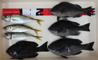 10月20日 上関ソウズ港にて、アジとグレのサビキ釣り