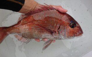 フカセ釣りで真鯛が釣れました!!